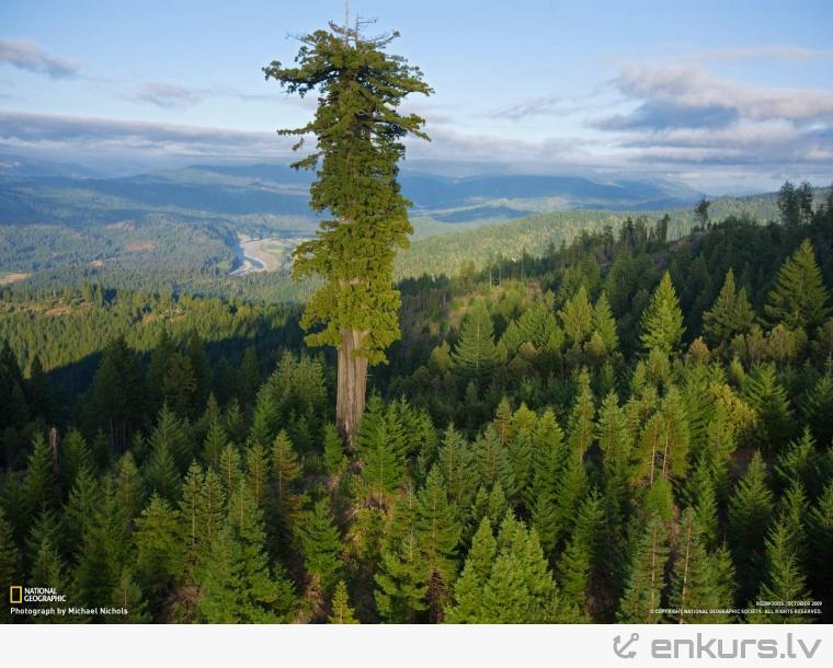 Koks izlecējs