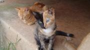 Divu seju kaķis